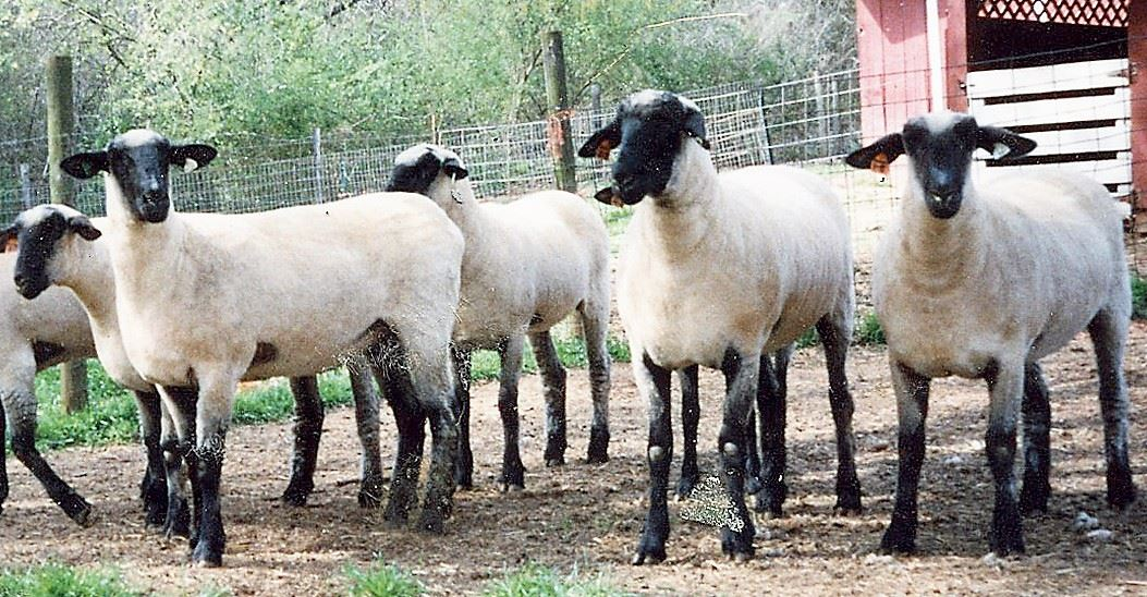 Georgia Sheep and Wool Growers Association - Classifieds